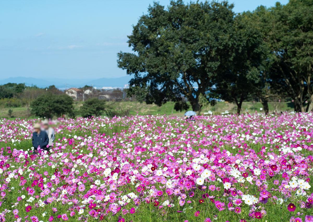 芝桜公園のコスモス