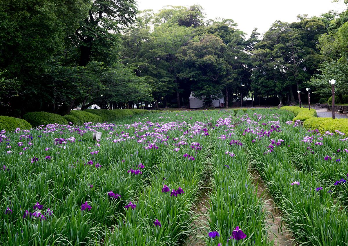 大村公園の菖蒲園