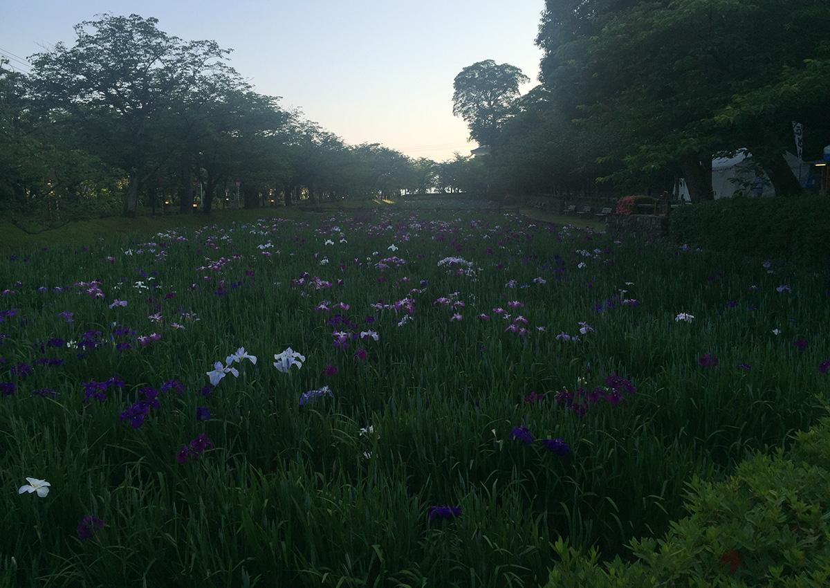 大村公園・花菖蒲 2016.5.26